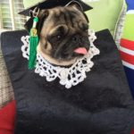 Pippa the Pug decked out in her graduation attire